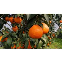 润昌果业(图)-果冻橙亩产量多少-山下林场果冻橙