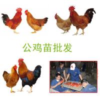 贵阳草原土鸡苗 哪里有野鸡苗出售 脱温鸡苗批发价格 毕节哪里有土鸡苗卖