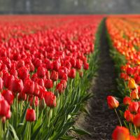 土培荷兰郁金香 洋荷花 工程盆栽花卉 种球花卉植物 鲜切花花卉