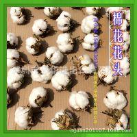 【包邮】干花棉花白色永生花批发 棉花荷兰进口鲜花天然干花