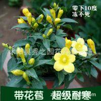 花卉绿植法国香水盆栽 室内外阳台黄花香水茉莉花苗 冬季耐寒植物