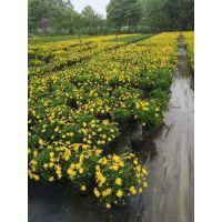 四川成都大量出售木春菊基地 13杯木春菊工程苗价格是多少