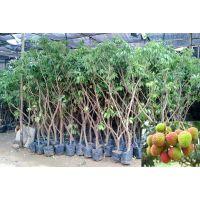 供应批发荔枝苗直生苗 荔枝实生苗果树苗 品种正宗优质