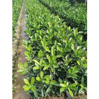 泰国蜜柚苗种植技术哪家强 优质泰国青柚苗价格是多少