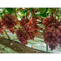 葡萄打什么叶面肥好?膨果防裂着色叶面肥 美果增甜