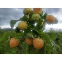 【树莓苗】白山圣达种苗专业合作社批发零售各种树莓苗 签订回收果实合同免费指导技术