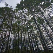 辛夷苗木哪儿有? 陕西汉中辛夷苗木种植基地 中药材经济林木 辛夷苗木价格0.25元起