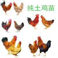 厂家大量供应纯土鸡苗卖,育种场全国批发,哪里有纯土鸡苗卖价格