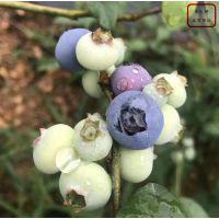 蓝莓树苗哪里有卖