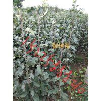 梨树苗:红香酥、黄金、园黄大果水晶、晚秋黄梨、中梨一号、秋月、玉露香等十几个品种。