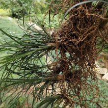 玉龙草 江西抚州园林绿化工程用沿阶草批发价格 多少钱一斤