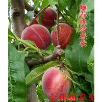 壹棵树 大樱桃种苗基地 樱桃种苗价格 物优价廉 量大从优