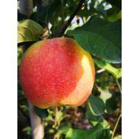 矮化华硕苹果苗价格 华硕苹果苗品种特性早熟