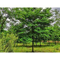 17公分榉树价格17公分榉树批发