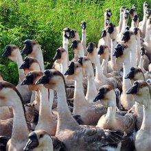 全国托运 南宁狮头鹅鹅苗出售 大种狮头鹅苗图片 杂交狮头鹅苗