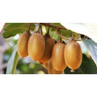 黄金果猕猴桃树苗批发7元一株_润丰果树苗