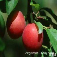 李子树苗品种 早美丽李子苗种植基地 李子苗种植技术 现货直供