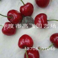 拉宾斯樱桃苗 南方种植樱桃苗品种 晚熟