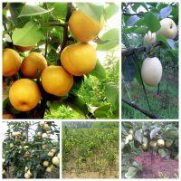 果树苗 梨树树苗 嫁接苗 南方北方种植 当年结果包邮梨树苗