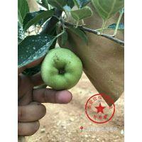 壹棵树 苹果树苗培育中心 苹果树种苗批发 成活率高