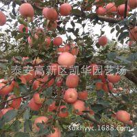 烟台红富士苹果小大树批发烟富3号新2001号烟富8号乔化苹果树苗