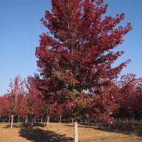 红点_6公分美国红橡基地 源昊苗木 美国红橡价格 8公分美国红橡