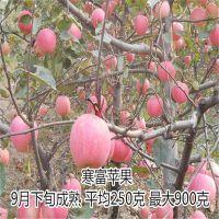 山东泰安维纳斯黄金苹果苗报价多少 维纳斯黄金苹果苗多少钱一棵