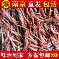 小号大红小鹅蚯蚓活体蠕虫鱼食鱼饵盒装养花放生松土种苗包活大料