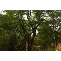 最新朴树价格,2019年哪里买朴树?