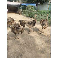要买纯种的鸵鸟鸵鸟苗到山东找仙农养殖场