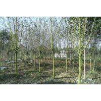 垂丝海棠批发基地价格美丽 适合各种地方种植 乔木品种齐全