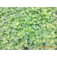 青州草花基地出售金叶薯、彩叶草、万寿菊、矮牵牛等草花花卉