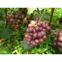 巨宝特早葡萄苗基地 巨宝特早葡萄苗品种特点
