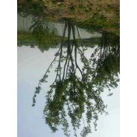 3公分,6公分,朴树苗木种植基地