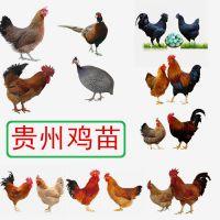贵州七彩山鸡苗价格,山鸡养殖技术