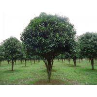 桂花树有哪些品种?价格是多少呢?