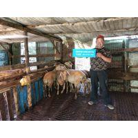 合肥羊为什么不长?肉羊核心饲料 肥羊预混料