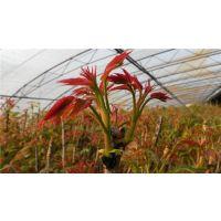 供应红油香椿苗等级0.5至2公分香椿苗价格