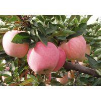 m9t337砧木烟富8号苹果苗价格 矮化苹果苗批发