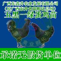 遵义市凤冈县-野鸡苗多少钱一只-重庆鸡苗-河南鸡苗批发