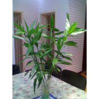 批发水生花卉 水培竹子 大叶富贵竹 水养植物 室内盆栽 净化空气