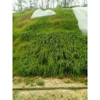 铜仁边坡护坡绿化什么植物种子草籽生命力强