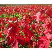 美国红枫多少钱-一帆银杏-六公分的美国红枫多少钱
