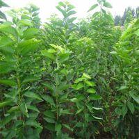 正一园艺场1米樱桃树苗 樱桃树苗一亩种多少 1米樱桃树苗 樱桃树苗基地