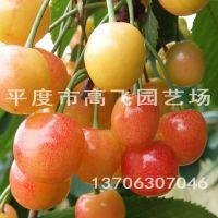 黄蜜樱桃苗 晚熟樱桃苗 车厘子苗