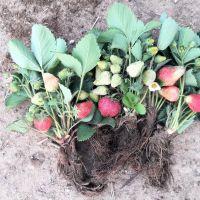 草莓苗盆栽四季奶油草莓苗南北方章姬红颜阳台种植四季结果包邮