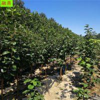 供应四川柿子树苗 今年3公分5公分脆柿子树苗多少钱一棵