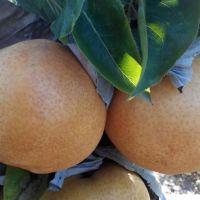 正一园艺场4公分全红梨树苗 全红梨树苗哪里有卖 低价出售早酥红梨树苗 低价出售秋月梨树苗批发