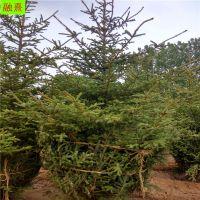 红皮云杉树价格 2 3 4 米高规格造林树种 园林防护 山东融熹云杉种植基地