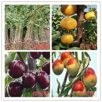 火龙果苗那里便宜、火龙果苗品种介绍